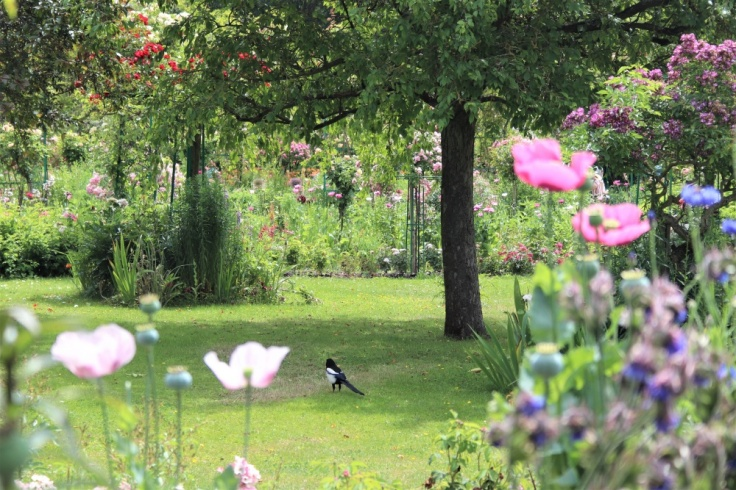 A magpie in Claude Monet's garden at Giverny